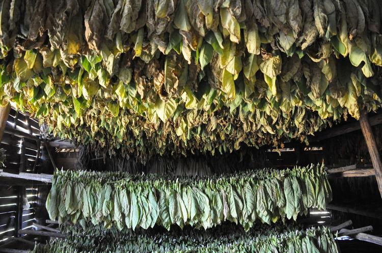 Viñales Valley, Cuba Green Color Green Tabaco Plant Tabaco Tobacco Cubano Tobacco Product Vegetable