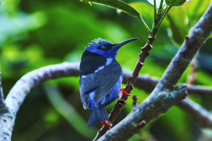 Red-legged Honeycreeper Animal Animal Themes Animal Wildlife Animals In The Wild Beak Beauty In Nature Bird Blue Branch Close-up Day Focus On Foreground Nature No People One Animal Outdoors Perching Plant Tree Vertebrate