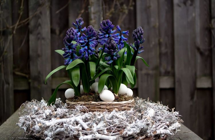 Flower Fragility Freshness Beauty In Nature Green Color Hyacinth Blooming New Life Hyacinth Flower Spring Flowers Spring Time Easter White Eggs Bird Nest Purple Decoration