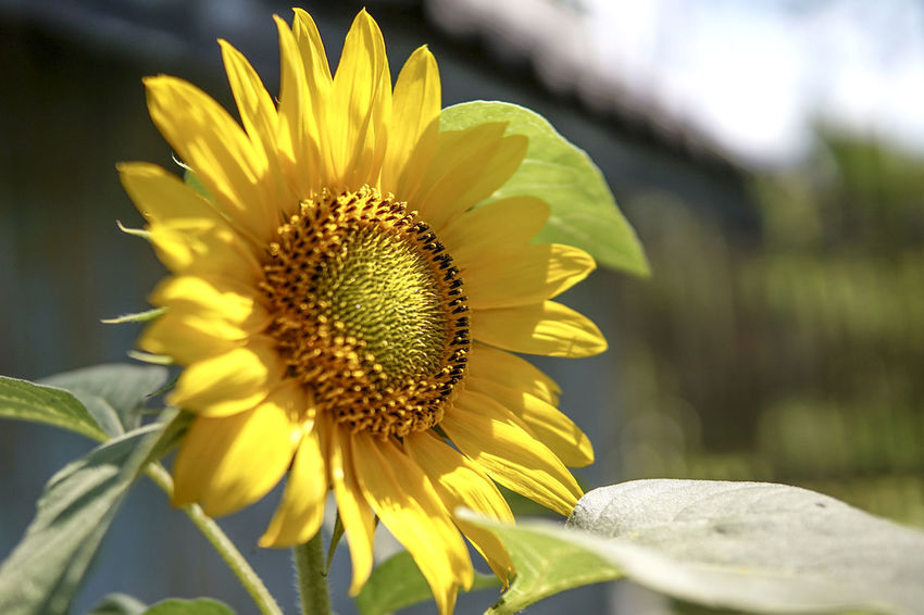 Beauty In Nature Blooming Close-up Day Flower Flower Head Fragility Freshness Growth Nature No People Outdoors Petal Plant Pollen Sunflower Sunlight Yellow