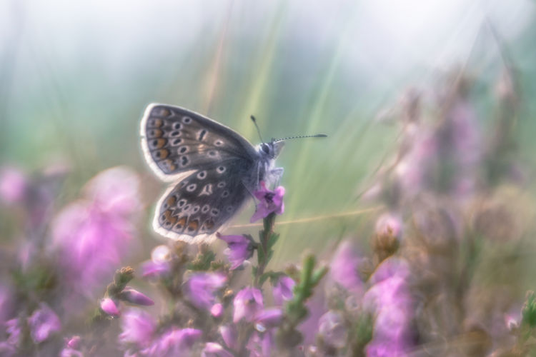 Animal Animal Themes Animal Wildlife Animal Wing Animals In The Wild Beauty In Nature Butterfly - Insect Close-up Flower Flower Head Flowering Plant Fragility Freshness Growth Insect Invertebrate Nature No People One Animal Outdoors Petal Pollination Purple Trioplan 50mm Vulnerability