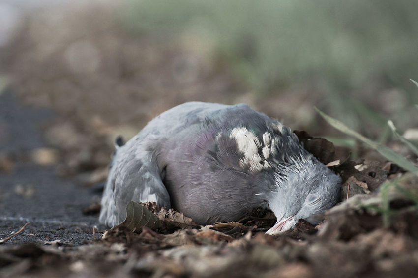 Death by the wayside Animal Themes Animals In The Wild Autumn Autumn Leaves Bird Close-up Day Dead Dead Animal Death Dove End Footpath Fugacity Mammal Memento Mori Muted Colours Nature No People One Animal Outdoors Perish Pigeon Sorrow Time