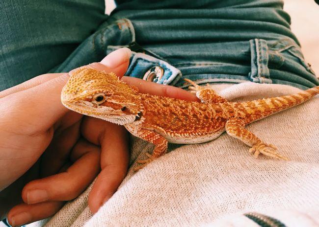 Dobby 💕 Reptiles Of Eyeem Reptilelove Reptile Photography Bearded Dragon Love Bearded Dragon Reptile Lizard