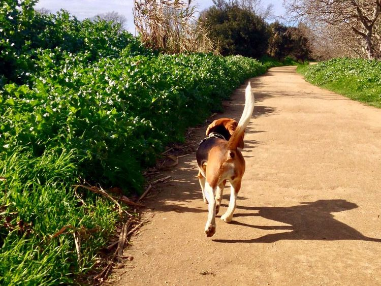 Domestic Animals Animal Themes Pets Dog Sunlight Tree One Animal Outdoors Growth Day Full Length Grass Nature No People Beagle Beagle Pet Portraits