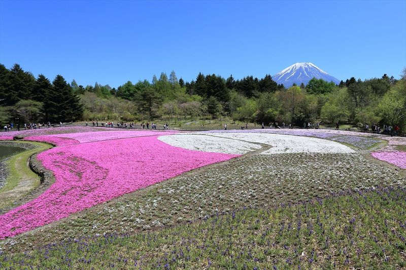 Fuji Shibazakura Fastival in Japan 富士芝桜祭 Clear Sky Flowers Japan Landscape Mountains Mt.Fuji Nature Outdoors Photography Sky Tourism 富士山 日本 桜 自然 風景