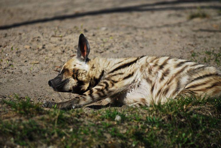 Hyena sleeping on fielding
