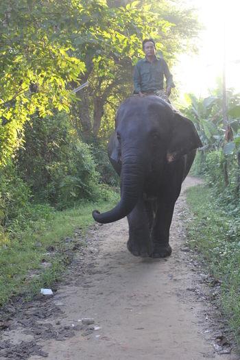 SastaFotu Mammal Animal Wildlife Vertebrate Nature Elephant Outdoors Herbivorous Pet Elephant Nature Elephant Walking Away Masti Elephant's Eye Banana Tree