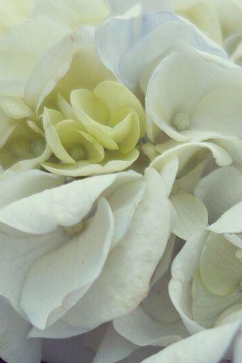 そろそろ紫陽花も終わりかな IPhoneography Nature_collection 紫陽花 Plants Nature Flower EyeEm Flower