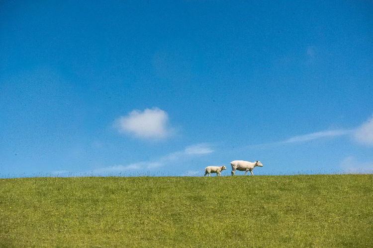 opn dike ! Auf Dem Deich Beauty In Nature Blue Sky Countryside Deich  Dike Domestic Animals Eye4photography  Farm Animals Grass Himmel Und Wolken Mother And Child Nikonphotography Norddeutschland Open Edit Sankt Peter-Ording Schafe Schleswig-Holstein Sheeps Sky Sky And Clouds SPO St. Peter Ording The Great Outdoors - 2017 EyeEm Awards Two Animals
