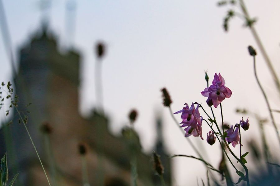 Listening to the bells... Granny's hat. Church Architecture Aquilegia EyeEm Selects Flowering Plant Plant Flower Fragility Vulnerability  Freshness Beauty In Nature Close-up Growth Focus On Foreground Nature No People Petal Flower Head Inflorescence Day Pink Color Outdoors Purple Selective Focus