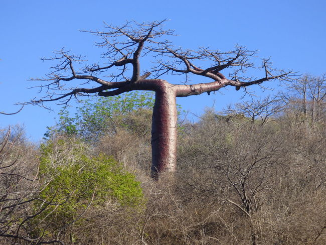 African Tree Baobab Madagascar  Nature Tree Wood