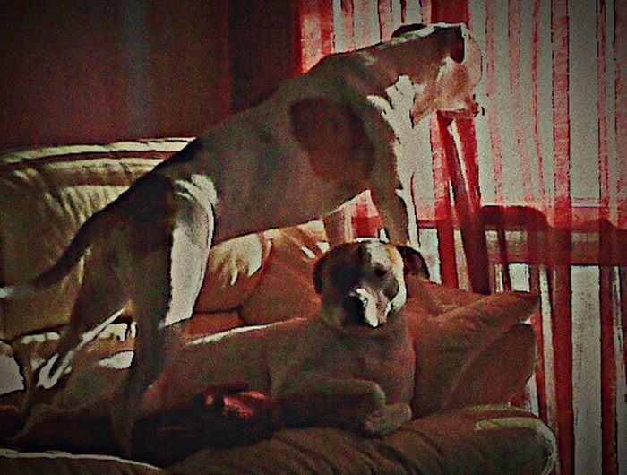 My two Ladies! Pitbull Family Pet Therapy True Love I Love My Pit Bull I Love My Dog