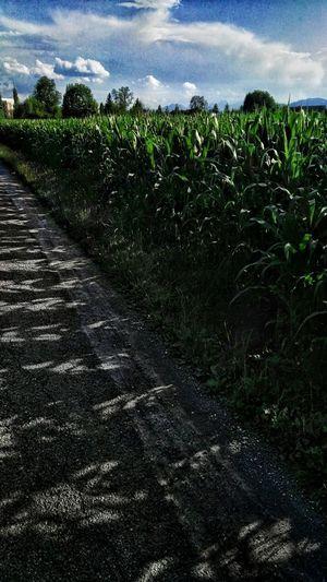 Maisfeld Cornfeild Im Vorbeifahren Am Wegesrand