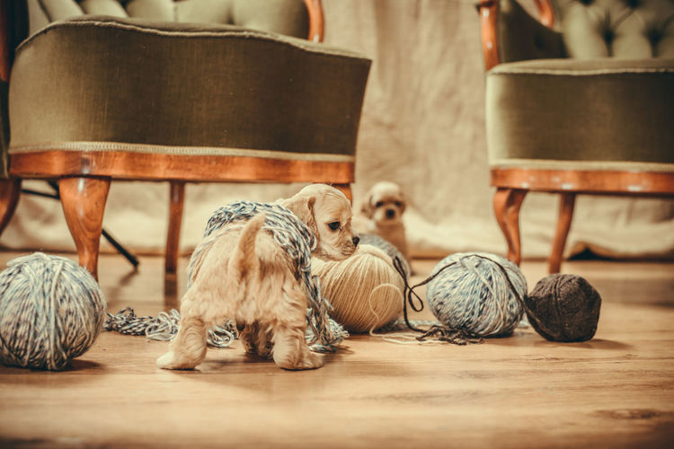 Puppy playing with yarns Cocker Spaniel  Mamal Puppy Love Animal Themes Antique Furniture Dog Furniture Indoors  Playing Puppy Yarns