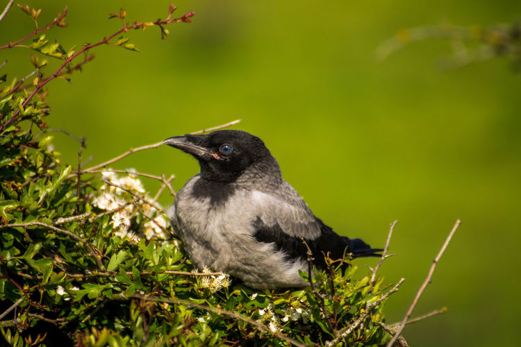 Juvenile Hooded crow