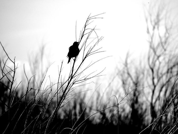 Bird Beauty In Nature Hikingadventures Nature Blackbird Black Color Blackandwhite Blackbird In Tree Twigs And Branches White Background