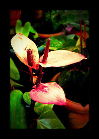 Andraeanum Anthurium Anthurium Andraeanum Anthurium Flower Anthuriums Beautiful Anthuriums Beauty In Nature Blooming Blossom Botany Close-up Flower Flower Head Fragility Freshness Leica Lens Pink Color Stamen