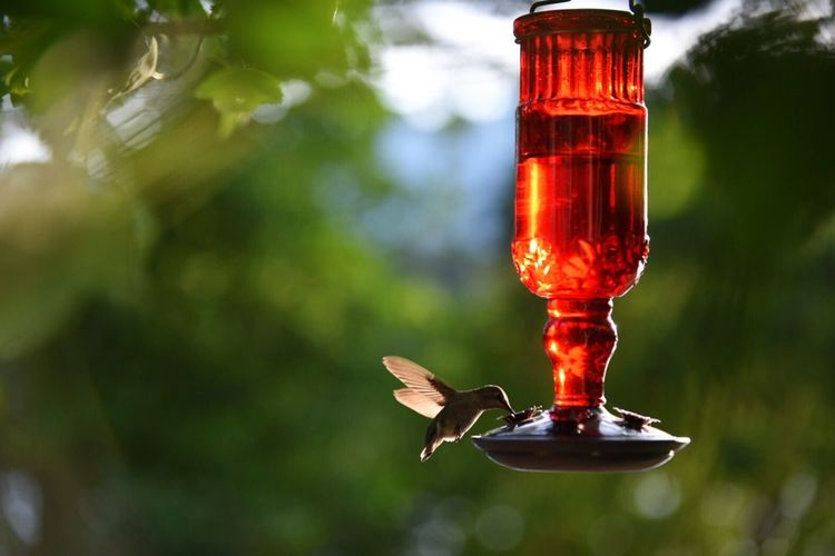 Hummingbird approaching feeder for meal