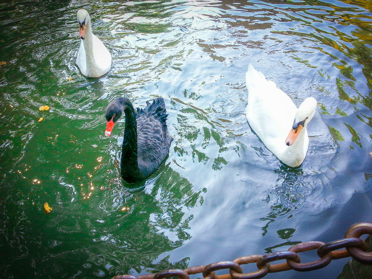 Animals Beauty In Nature Bird Birds Black Swan Black Swan Brugge Black Swans Blackandwhite Bruges Brugge Cannal Duck Floating On Water Lake Minnewaterpark Nature Outdoors Red Nose The Ugly Duckling Tranquility Water Water Bird Water_collection Brugge, Belgium BrugesCanal