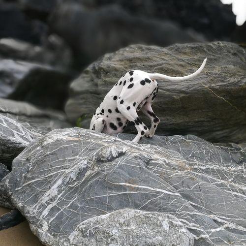 EyeEm Selects Watergate Bay Cornwall Beach Rocks And Water Beach Rock Beachphotography Cornwall Life Dalmatian Dog Bestfriend Newquay Beach Beach Life Dogslife Newquay Doglover Pet Portraits
