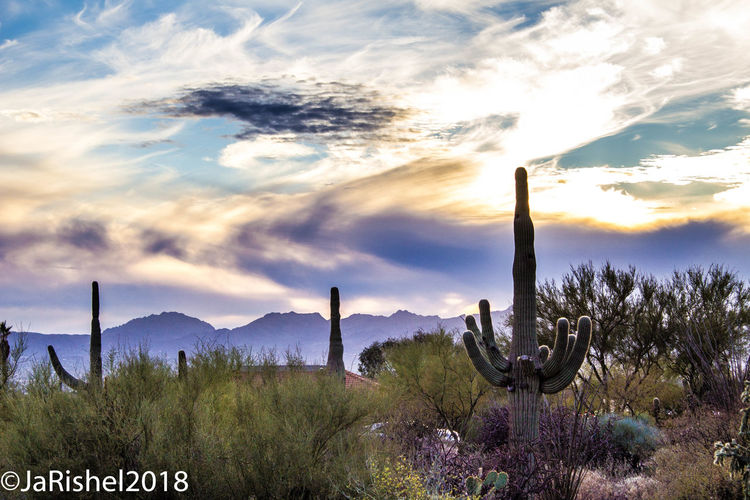 Cactus growing against sky during sunset