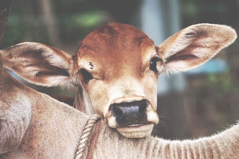 Close-up portrait of cattle