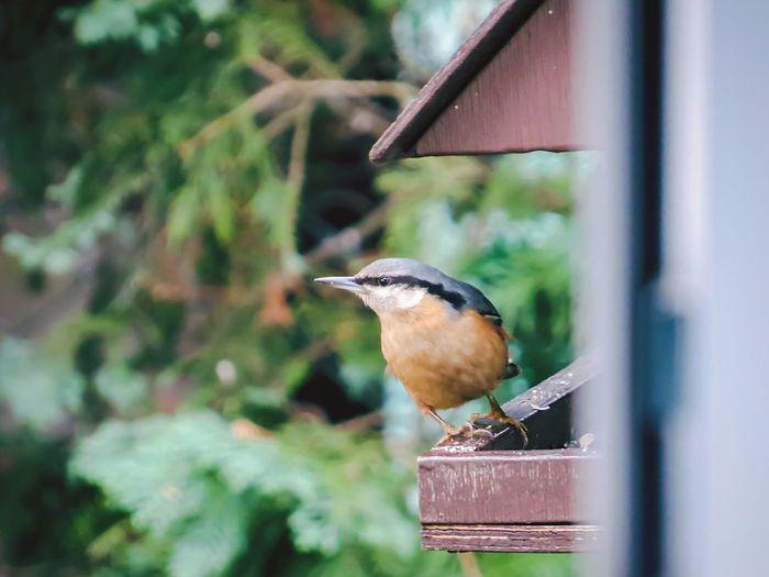 just ouside my open bedroom window Nuthatch Feeder Bird Feeder Bird Wildlife In The City First Eyeem Photo