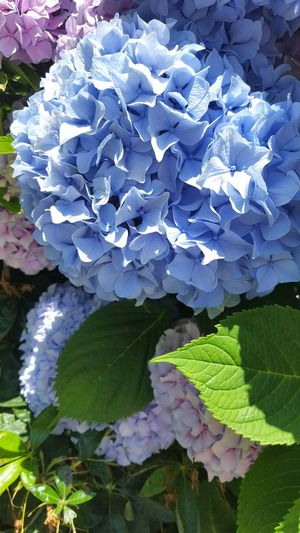 High angle view of purple hydrangea on plant