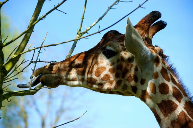 One Animal Animal Wildlife Animal Giraffe Animals In The Wild Safari Animals No People Nature Animal Themes Girafe Beauval ZooBeauval Beauty In Nature Pets Zoophotography Zoo De Beauval Zoo à Beauval