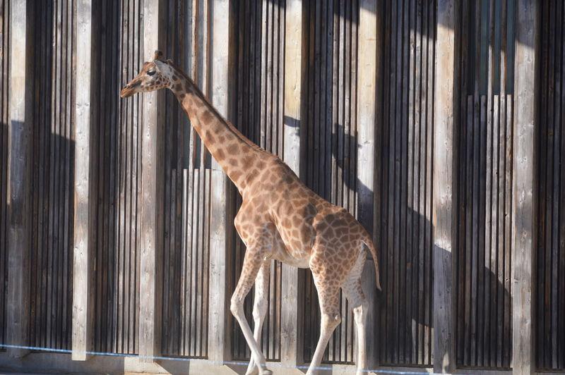 Giraffe walking against wall