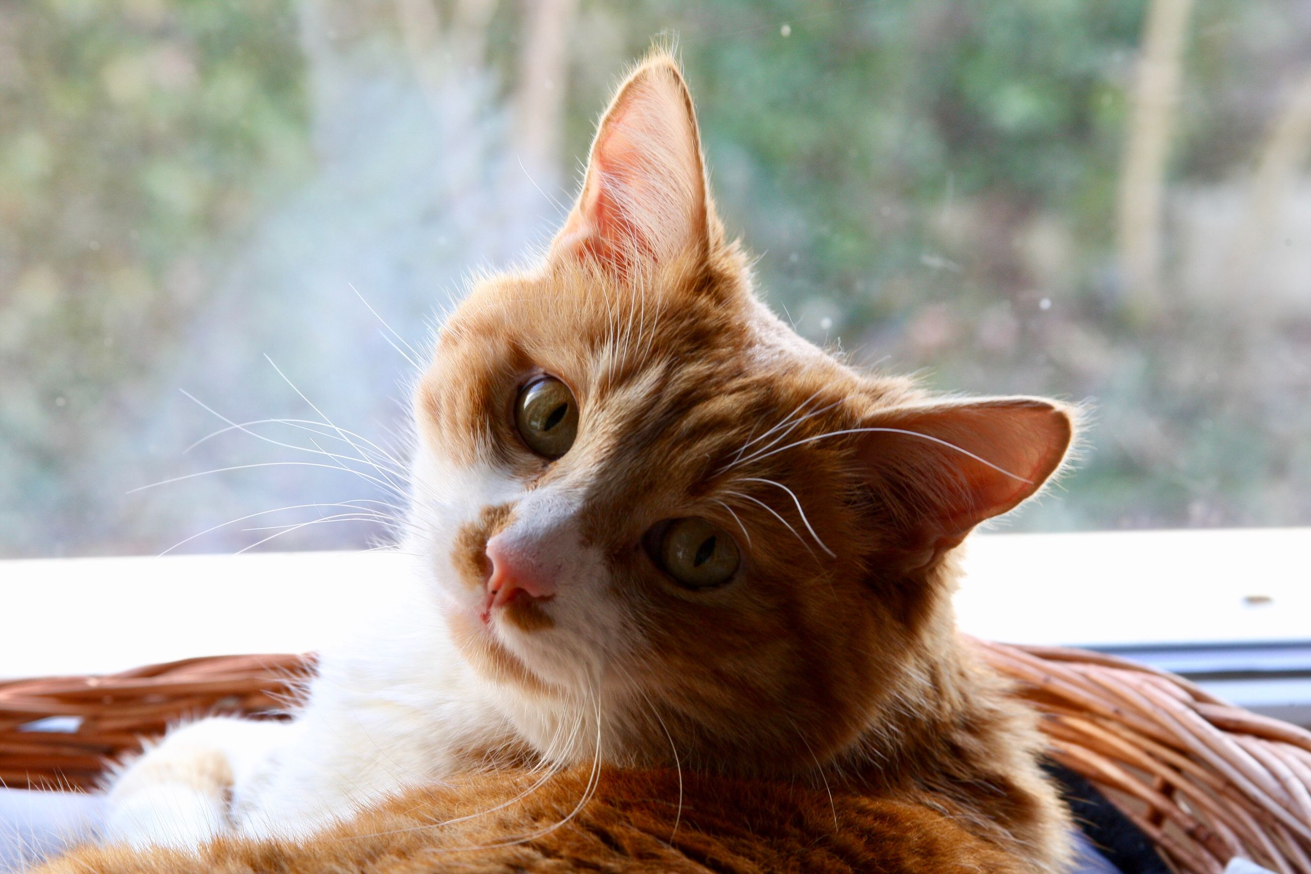 pets, domestic animals, one animal, animal themes, domestic cat, mammal, feline, whisker, portrait, no people, day, close-up, ginger cat, indoors
