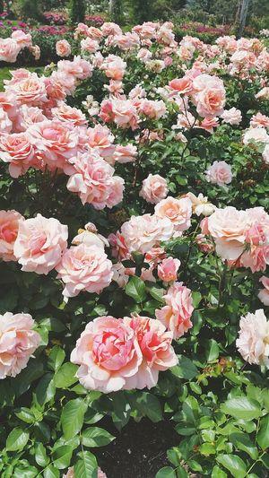 Flowers Sunshine Pink Roses🌹