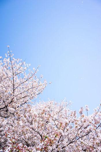 桜吹雪や〜🌸 花吹雪 Shower Of Cherry Blossom Petal Shower Sakura2018 Japan Photography Cherry Blossom Hanami Kinuta Park Sakura Blossom Flower Tree Cherry Blossom