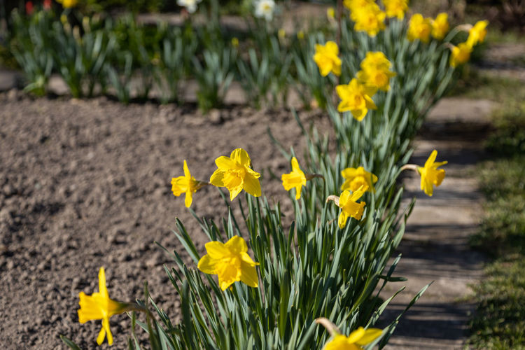Close-up of yellow daffodil flowers on field