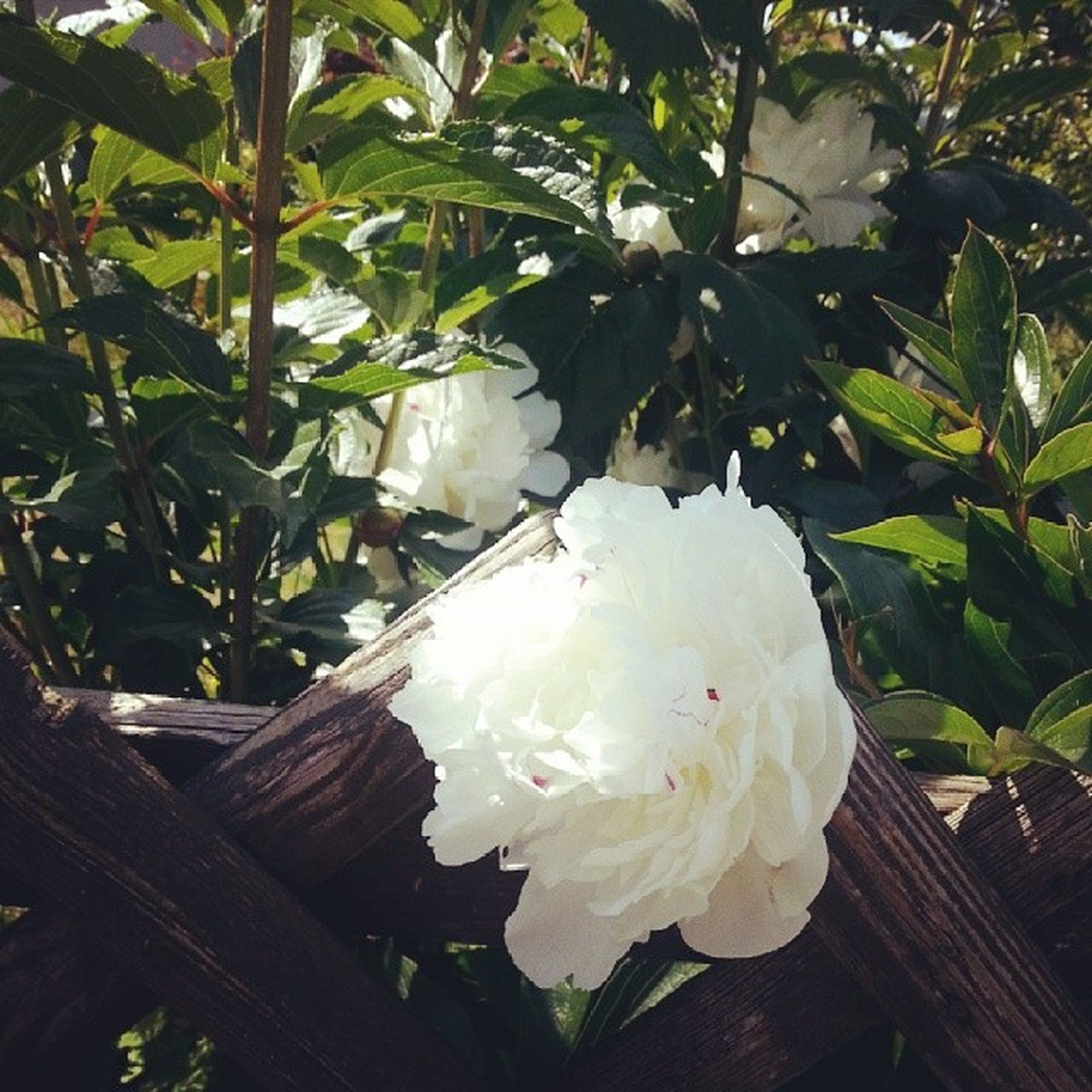 flower, freshness, petal, growth, fragility, white color, leaf, flower head, beauty in nature, close-up, nature, plant, blooming, white, blossom, no people, rose - flower, in bloom, outdoors, day
