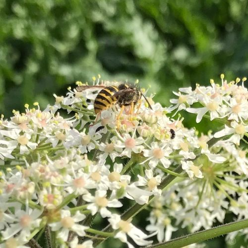 Insect Flower Animal Themes One Animal Animals In The Wild Nature Bee Wildlife Fragility Beauty In Nature Pollination Plant Growth Animal Wildlife Day Symbiotic Relationship Outdoors Honey Bee No People Freshness Wasp Soest