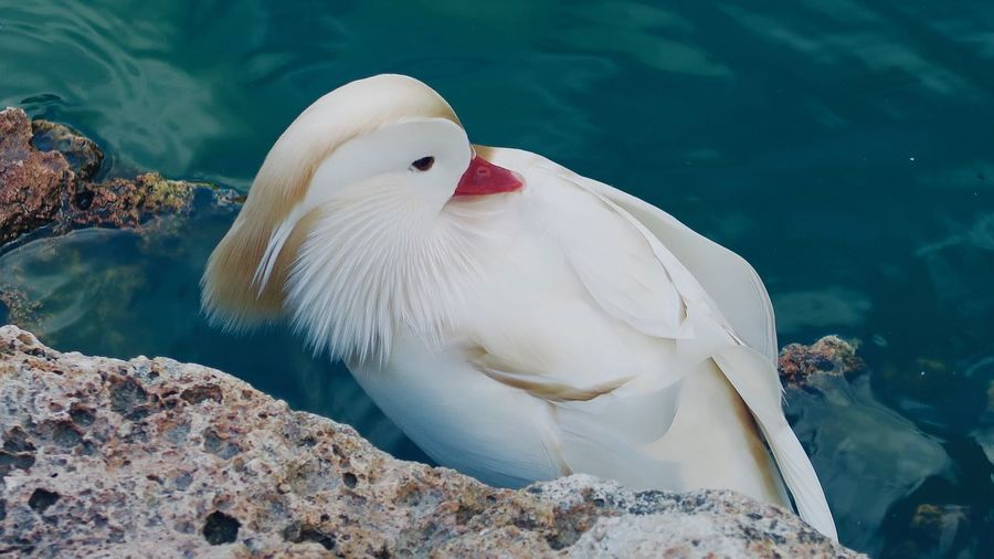 Close-up of white duck swimming in lake