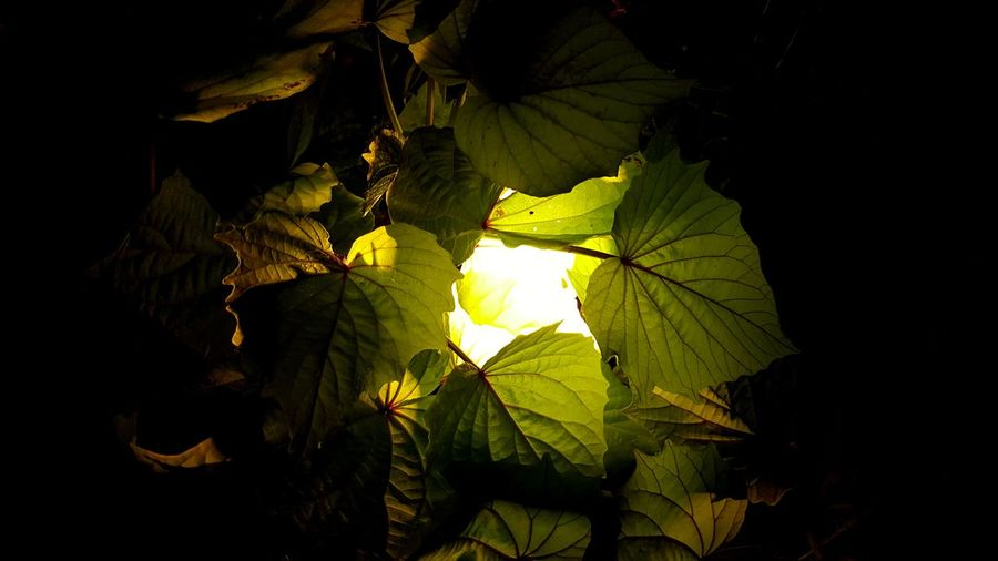 Leaf Nature Green Color No People Growth Plant Light And Darkness  Light Effect Light And Shadows Light In The Darkness Lighted Fragility Beauty Growth Close-up Outdoors Plant Green Color Love To Take Photos ❤ Love Photography Flower