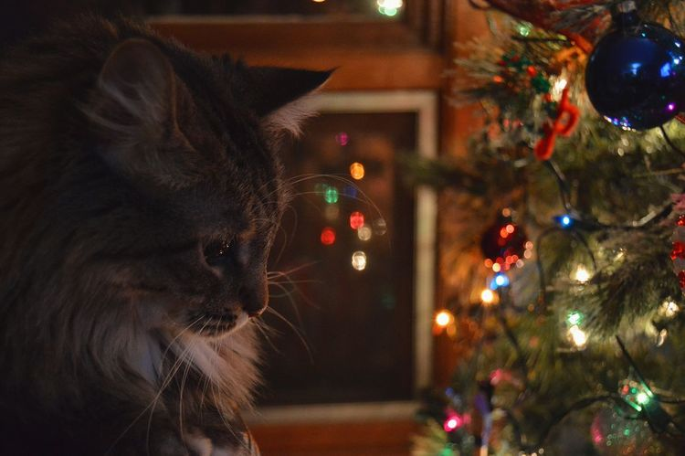 Christmas and cats. Peaceful Sweet Love Cats Cats Of EyeEm Pretty Princesskitty Princess Kitty Winter Colors