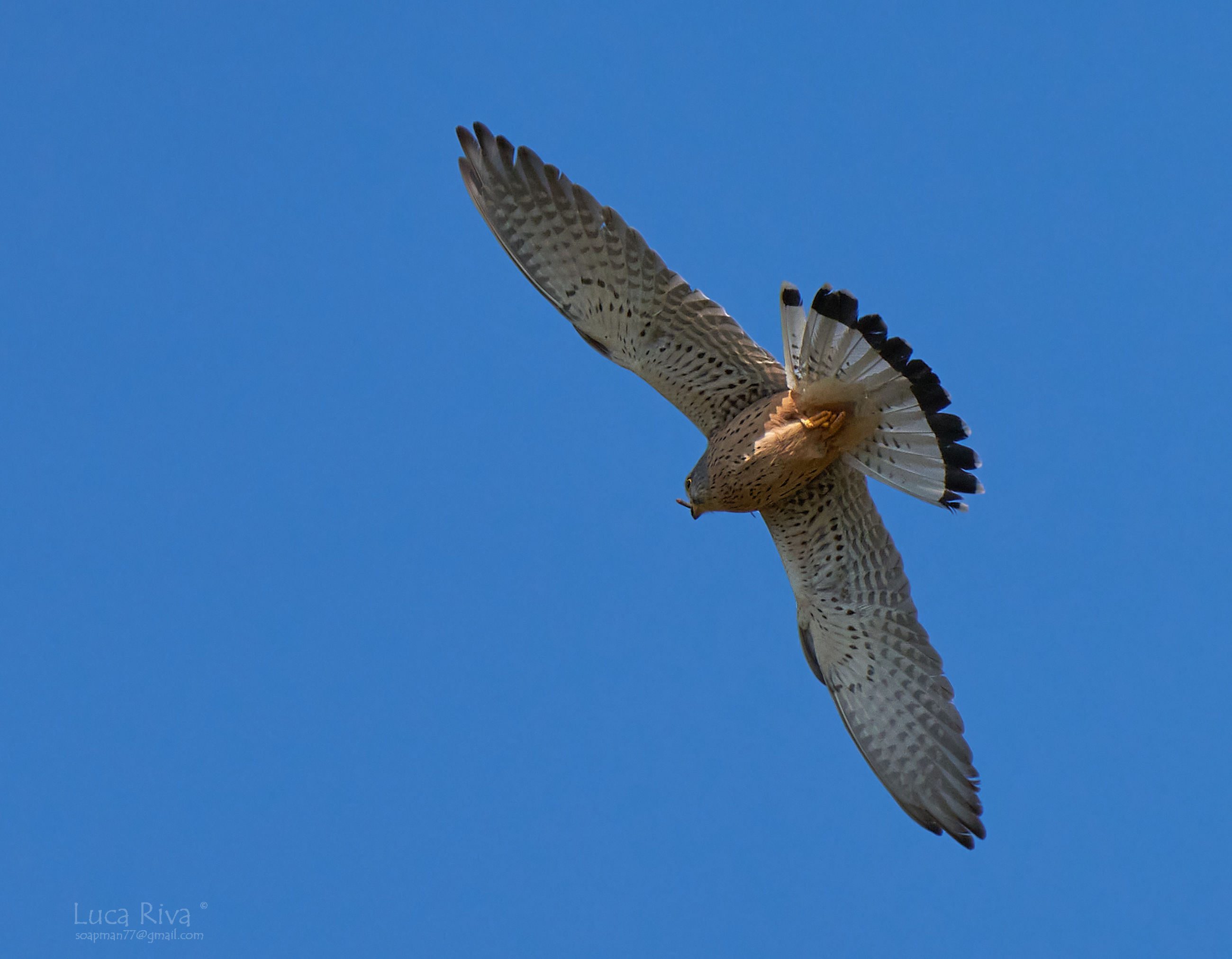 animal, animal themes, bird, animal wildlife, flying, wildlife, one animal, spread wings, blue, falcon, sky, bird of prey, clear sky, animal body part, nature, wing, no people, mid-air, animal wing, hawk, low angle view, motion, buzzard, day, outdoors, falcon - bird, eagle, beauty in nature, sunny, beak, copy space, full length