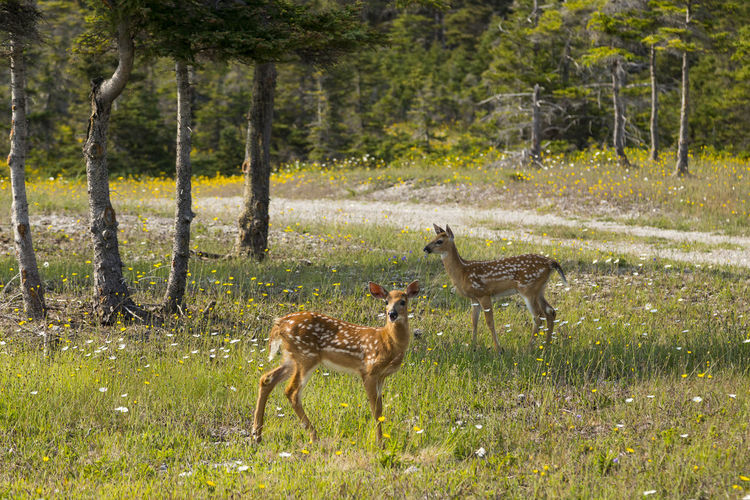 Two adorable fawn siblings standing in wildflowers next to a dirt road during a sunny summer day White-tailed Deer Sibling Bambis Small Graceful Fawns Standing Profile Wildflowers Anticosti Islands Port-Menier Summer Sunny Nature Wildlife Dirt Road Remote Popular Destination Staring Spotted Coat Adorable Two Animals Herbivorous Deer Animal Wildlife