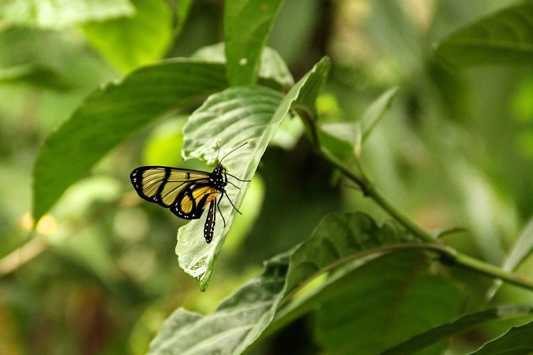 Amazon Beauty In Nature Butterfly Focus On Foreground Green Color Insect Leaf Nature Nature Nature Photography No People Outdoors Peru Plant Wildlife