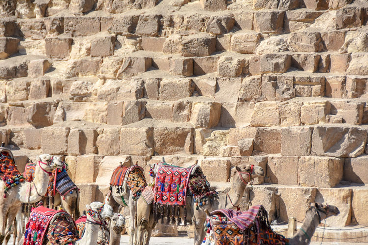 Camels relaxing in front of great pyramids