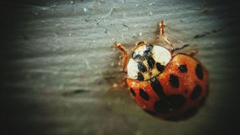 Animal Themes Insect One Animal Close-up Nature No People Animals In The Wild Day Macro Beetle Bug Macro Photography Ladybug Ladybugmacro Macro Ladybug