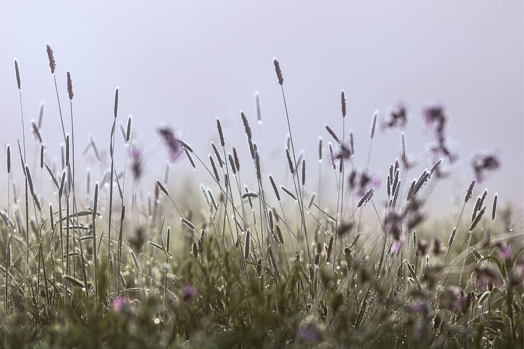 Close-up of purple flowering plants on field against clear sky