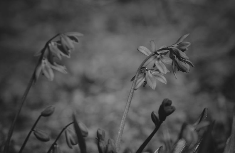 Spring flowers. Blackandwhite Urban Nature Park - Man Made Space Black And White Monochrome Still Life EyeEm Selects Plant Growth Focus On Foreground Beauty In Nature Close-up Nature Flowering Plant Flower Day No People Plant Stem Fragility Freshness Vulnerability  Land Selective Focus Tranquility Outdoors Wildflower Field My Best Photo My Best Photo Springtime Decadence