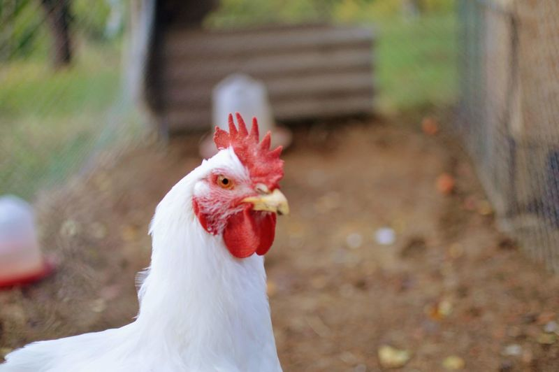 Close-up of a rooster against blurred background