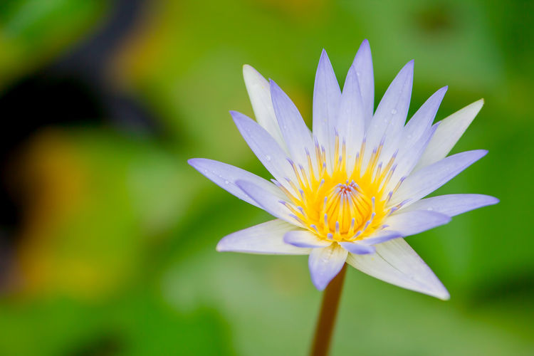 Flowering Plant Flower Petal Vulnerability  Fragility Freshness Beauty In Nature Plant Flower Head Inflorescence Growth Close-up Pollen Nature Water Lily Day Focus On Foreground No People Yellow Purple Lotus Water Lily