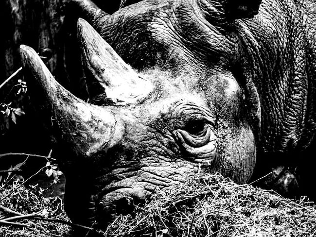 The resting Rhino. One Animal Animal Body Part Animal Themes Animal Head  Animals In The Wild No People Animal Wildlife Mammal Outdoors Day Rhinoceros Nature Close-up Safari Animals Animal Trunk EyeEm Best Shots - Nature EyeEm Nature Lover First Eyeem Photo EyeEmBestPics Beauty In Nature EyeEm Best Shots EyeEmNewHere EyeEm The Best Shots EyeEm Gallery EyeEm Selects