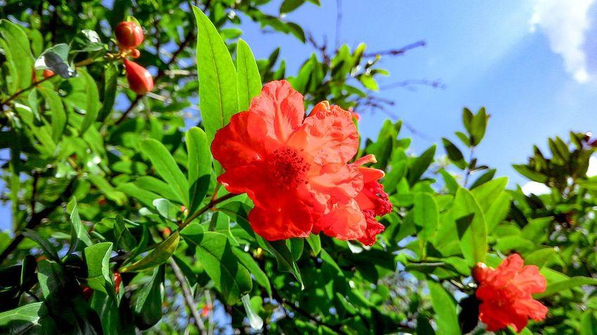 Red Flower Pomegranate